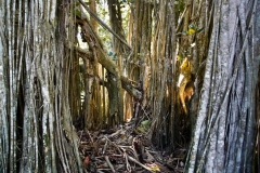 Light Through Banyon Trees